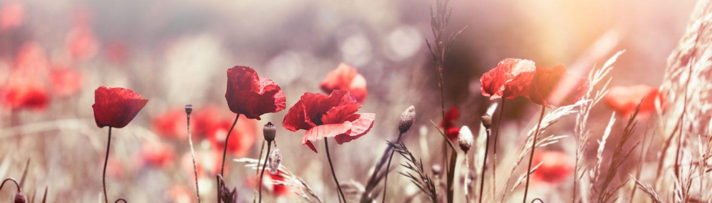 Selective,Focus,On,Poppy,Flower,,Wild,Poppy,Flowers,In,Sring